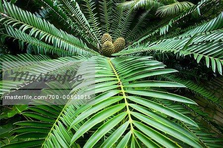 Palmfarne, Los Angeles County Arboretum und Botanischer Garten, Arcadia, Kalifornien, USA