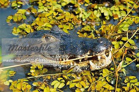 Crocodile Swimming, The Pantanal, Mato Grosso, Brazil