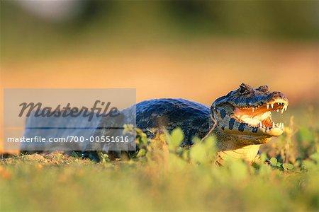 Crocodile, The Pantanal, Mato Grosso, Brazil