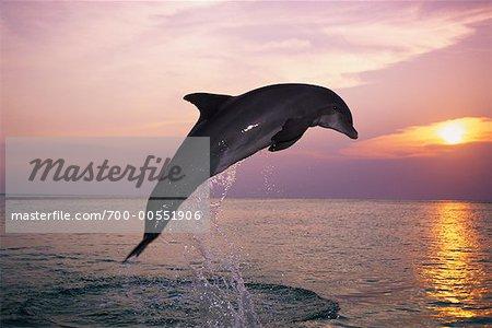 Dolphin saut hors de l'eau, Roatan, Honduras