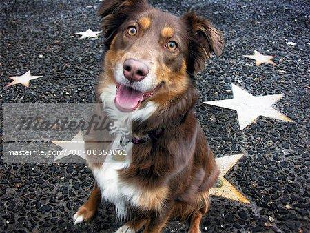 Australischer Schäferhund sitzend am Walk Of Fame