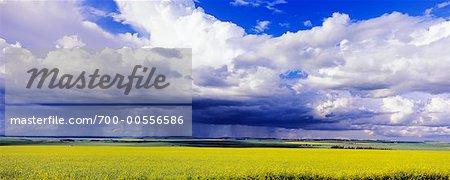 Champ de canola et les nuages, Three Hills, Alberta, Canada