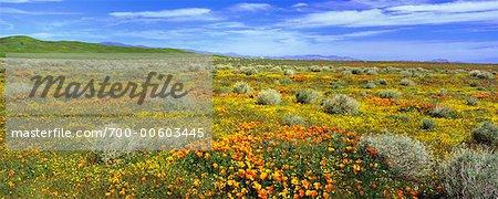 Pavot de Californie et de fleurs sauvages, Lancaster, California, USA