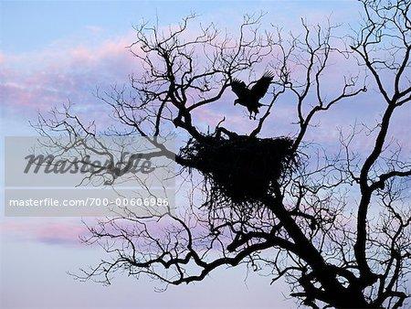 Bald Eagle Landing on Nest, Llano, Texas, USA