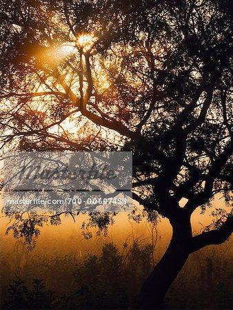 Mesquite Tree, soudeur Wildlife Refuge, Texas, USA