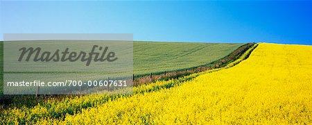 Canola et champs de blé, Beiseker, Alberta, Canada