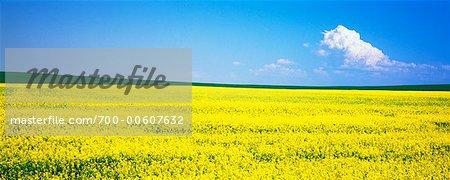 Canola et champs de blé, Crossfield, Alberta, Canada