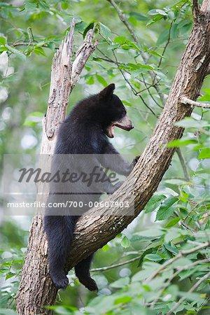 Ourson noir dans l'arbre, le nord du Minnesota, USA