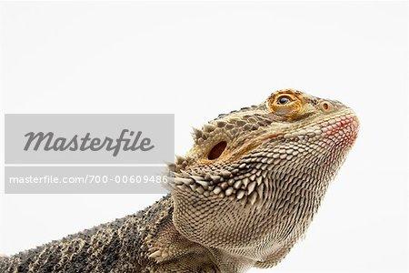 Portrait de lézard Dragon barbu