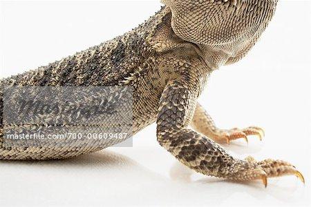 Lézard Dragon barbu