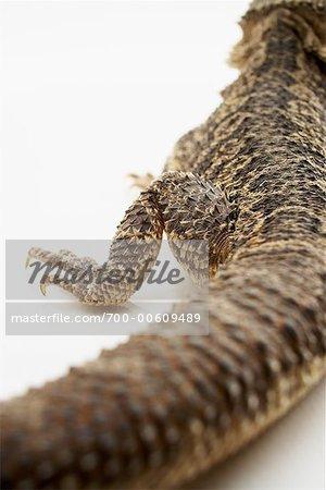 Vue arrière du Dragon barbu lézard