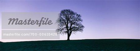 Silhouette d'un chêne au crépuscule