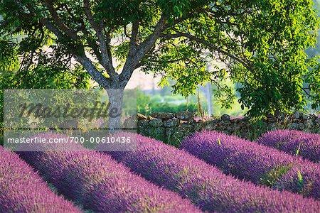 Arbre et mur de Pierre de champ lavande, Provence, France