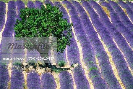 Olivier en champ lavande, Provence, France