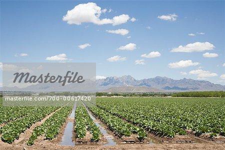 Laitue champ, Nouveau-Mexique, États-Unis