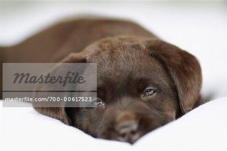 Schoko Labrador Retriever entspannend