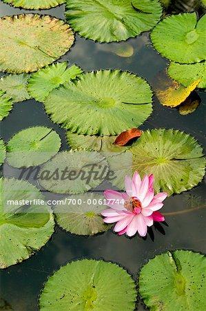 Nénuphars et fleur de Lotus au jardin botanique de Singapour, Singapour