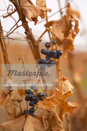 Raisins au vignoble