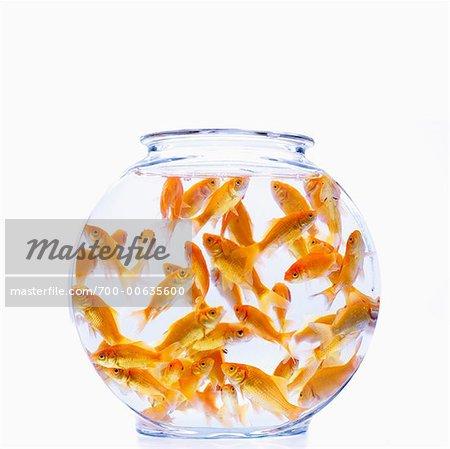 Many Goldfish in Bowl