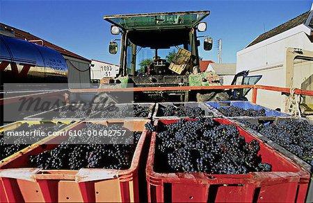 France, raisin de la région Champagne, Reims, Champagne