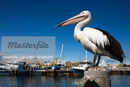 Pelican, Fremantle, Australia