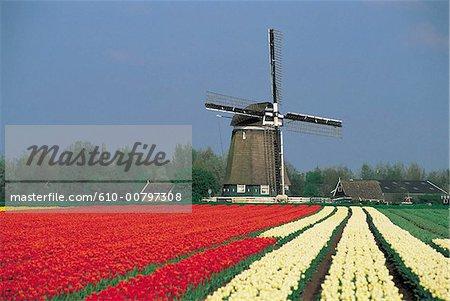 Flield de Hollande de Nord, des tulipes