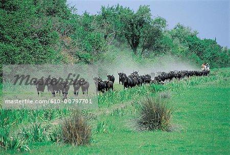 France, Provence, la Camargue, du troupeau de vaches jeunes