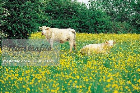 France, Normandie, élevage