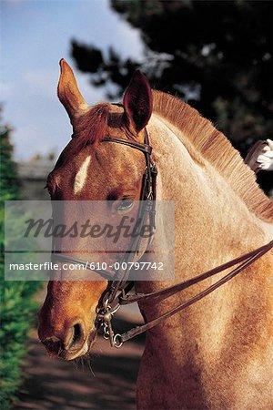 France, Normandie, tête de cheval