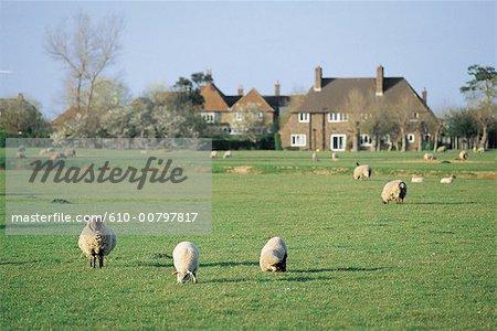 Angleterre, Kent, Sandwich, moutons.