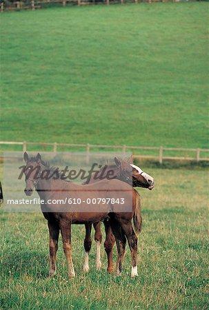France, Normandie, Maheru, haras de la Louvriere, chevaux