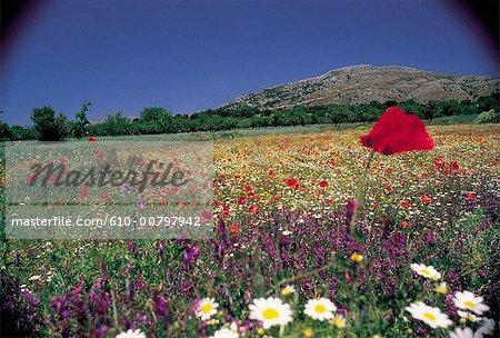 Terrain de la Grèce, Crète, des coquelicots
