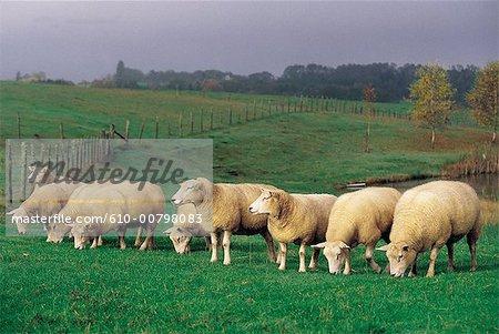 France, Limousin, moutons