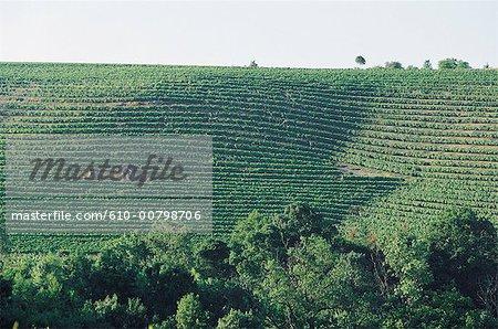 France, Pays de la Loire, Layon, vineyard