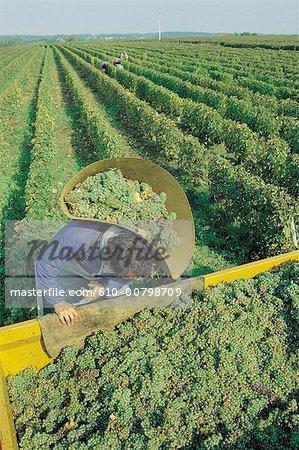 France, Centre, grape harvest