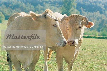 France, Lot, deux vaches