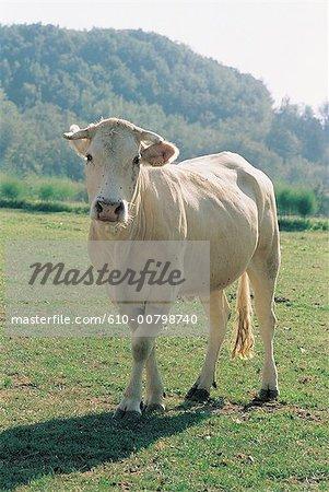 Vache de France, Lot,