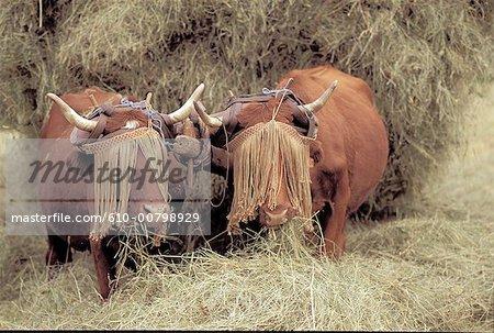 France, Auvergne, vaches