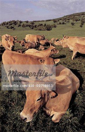 Les vaches d'Aubrac Aveyron, France
