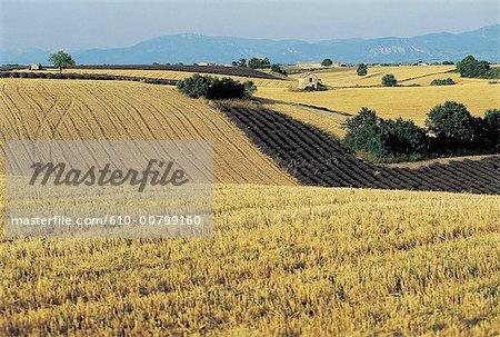 France, Provence, blé et lavande