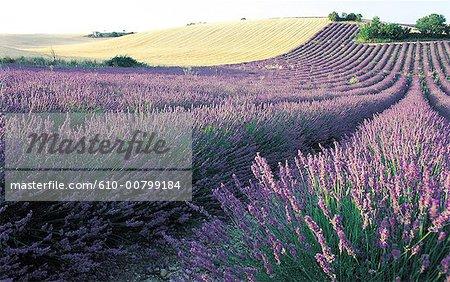 France, domaine des Alpes, Valensole, de la lavande