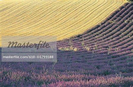 Champ France, Provence, Plateau de Valensole, blé et lavande