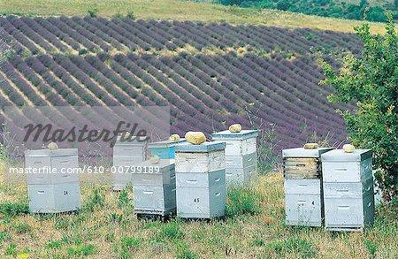 France, Provence, Plateau de Valensole, champs de lavande et ruches
