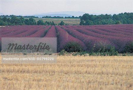 France, Alpes, Valensole, champ de blé et lavande