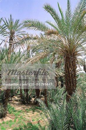 Algérie, Tassili Ajjer, Djanet, palmeraie