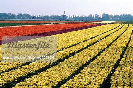 Pays-Bas, Hollande-méridionale, Lisse, champ de jonquilles