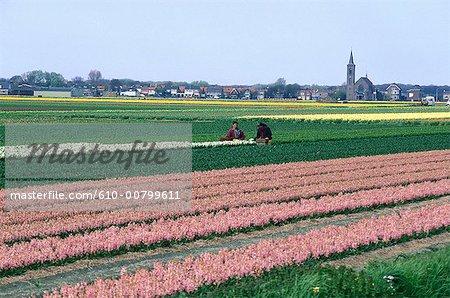 Pays-Bas, Hollande-méridionale, Lisse, champ des dahlias