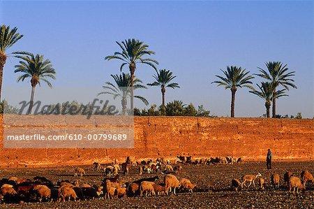 Morroco, Marrakech, medina, herd of sheeps