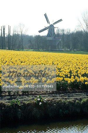 La Hollande du Sud, près de Lisse, Keukenhof, champs de jonquilles et tulipes