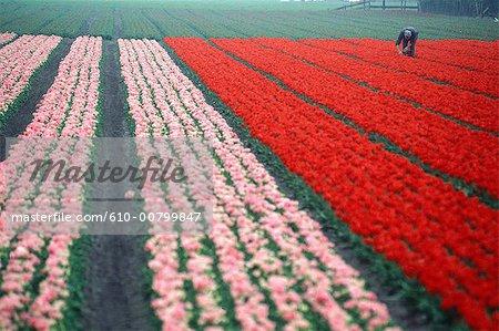 Hollande du Sud, champ de tulipes